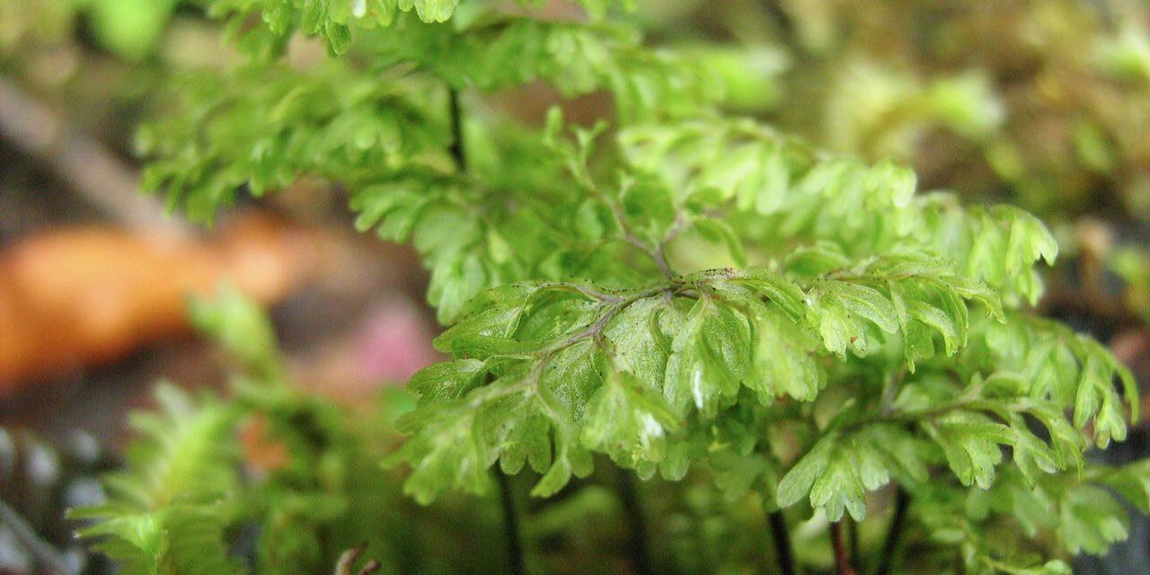 Hymenophyllum myriocarpum