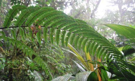 Steiropteris decussata var. decussata