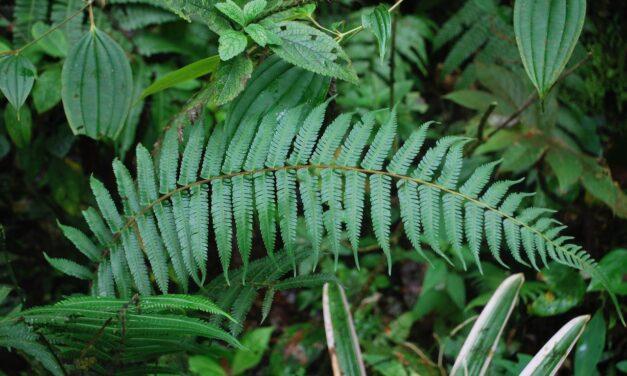 Amauropelta rudis