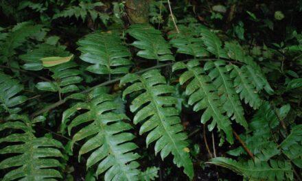 Diplazium macrophyllum