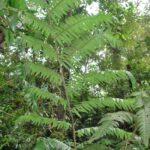 Cyathea mutica var. grandis
