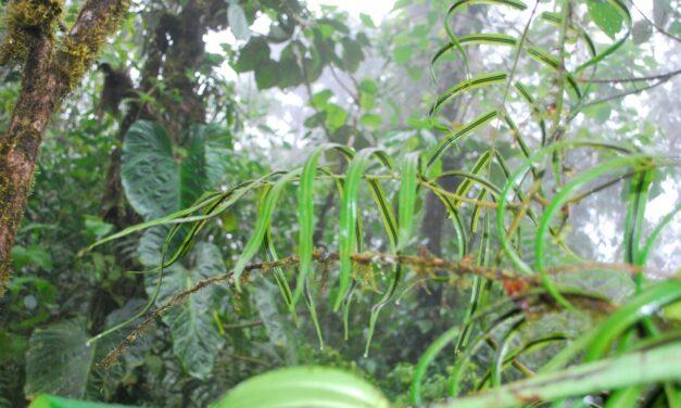 Salpichlaena volubilis