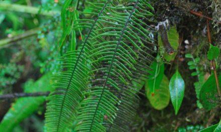 Mycopteris alsopteris