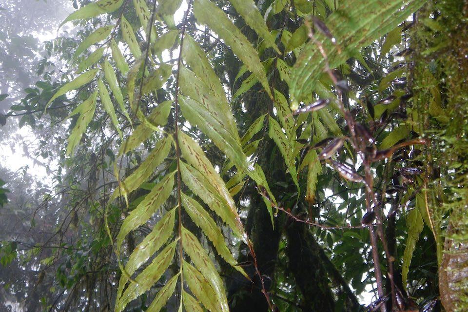 Asplenium serra