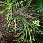 Vittaria bradeorum