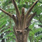 Sphaeropteris brunei