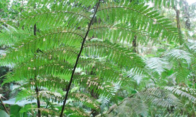 Dicksonia sellowiana