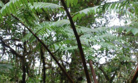 Alsophila erinacea var. erinacea