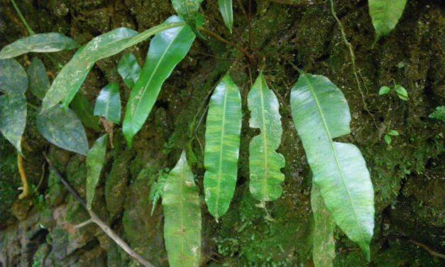 Danaea carillensis
