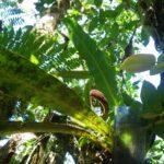 Elaphoglossum doanense