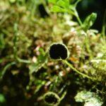 Elaphoglossum peltatum fo. flabellatum