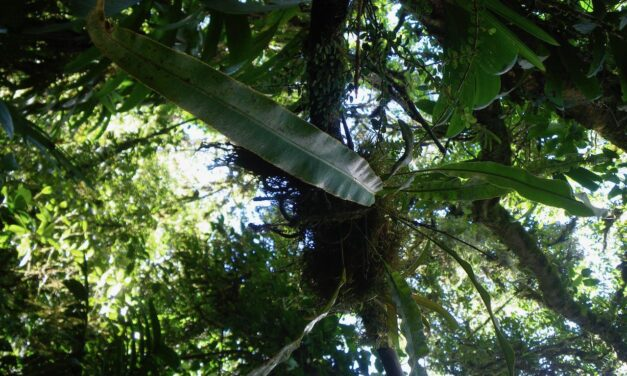Elaphoglossum brenesii