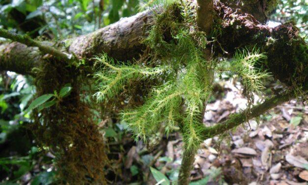 Phlegmariurus wilsonii