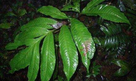 Tectaria antioquoiana