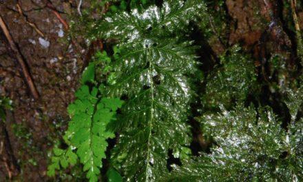 Abrodictyum rigidum