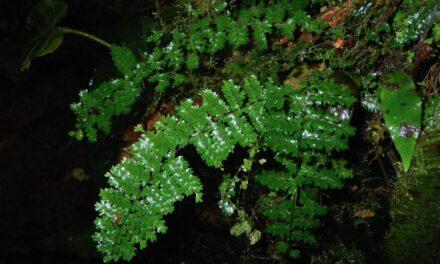 Asplenium rutaceum