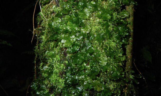 Didymoglossum ekmanii
