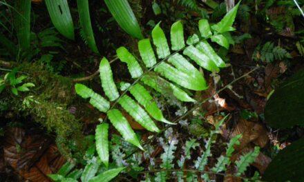 Diplazium urticifolium