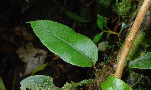 Elaphoglossum lanceiforme