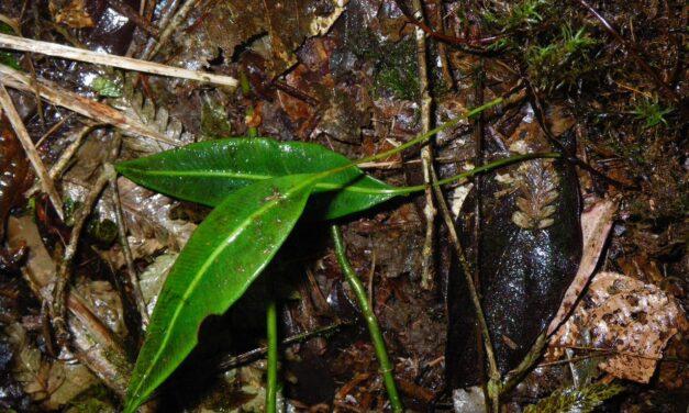 Elaphoglossum mitorrhizum