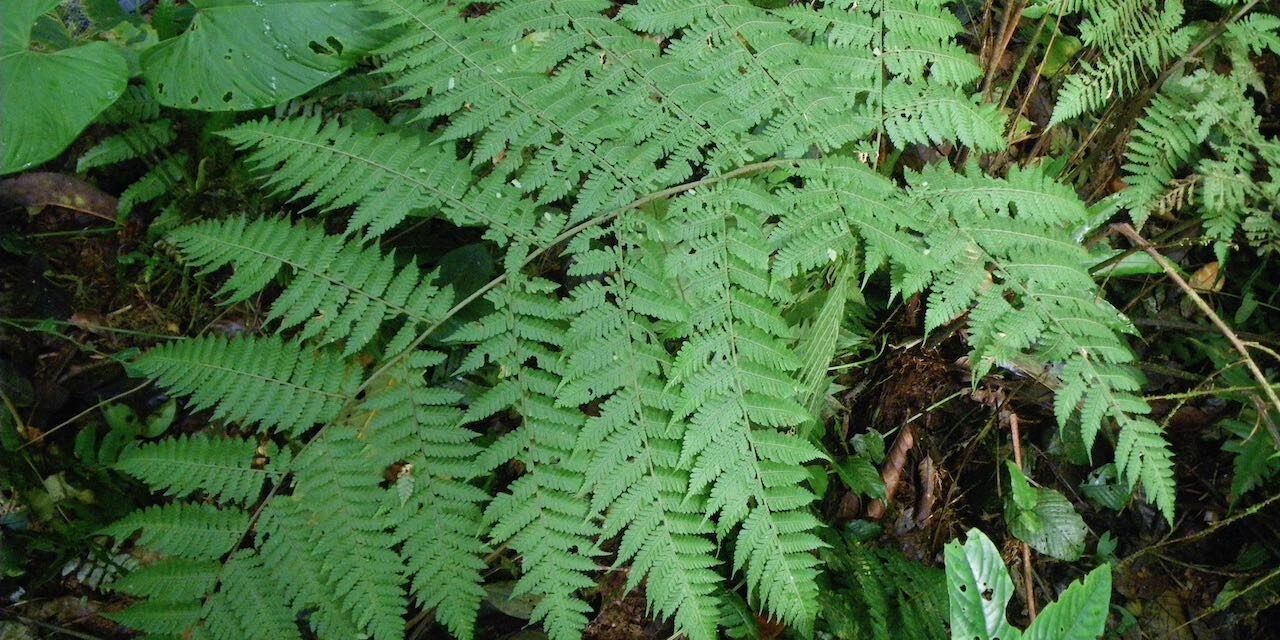 Megalastrum atrogriseum