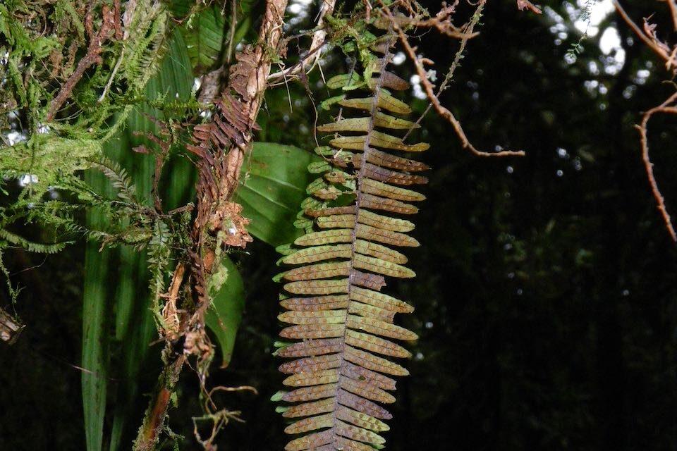 Mycopteris costaricensis