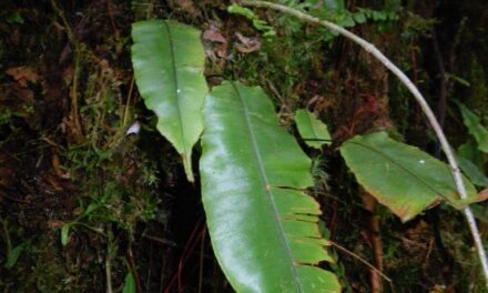 Oleandra bradei
