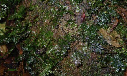Polyphlebium diaphanum