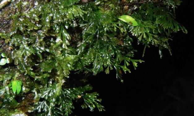 Polyphlebium sp1