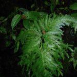 Selaginella oaxacana