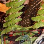 Coastal Woodfern – Dryopteris arguta – Dryopteridaceae – Willow Creek (7) (Dryopteris arguta)