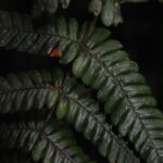Steiropteris gardneriana