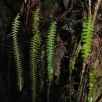 DSC_0111 (Terpsichore asplenifolia)