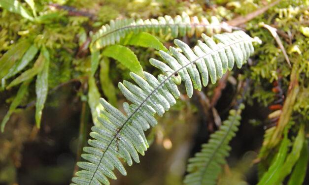 Ascogrammitis angustipes