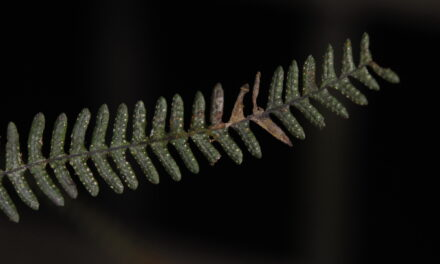 Melpomene occidentalis