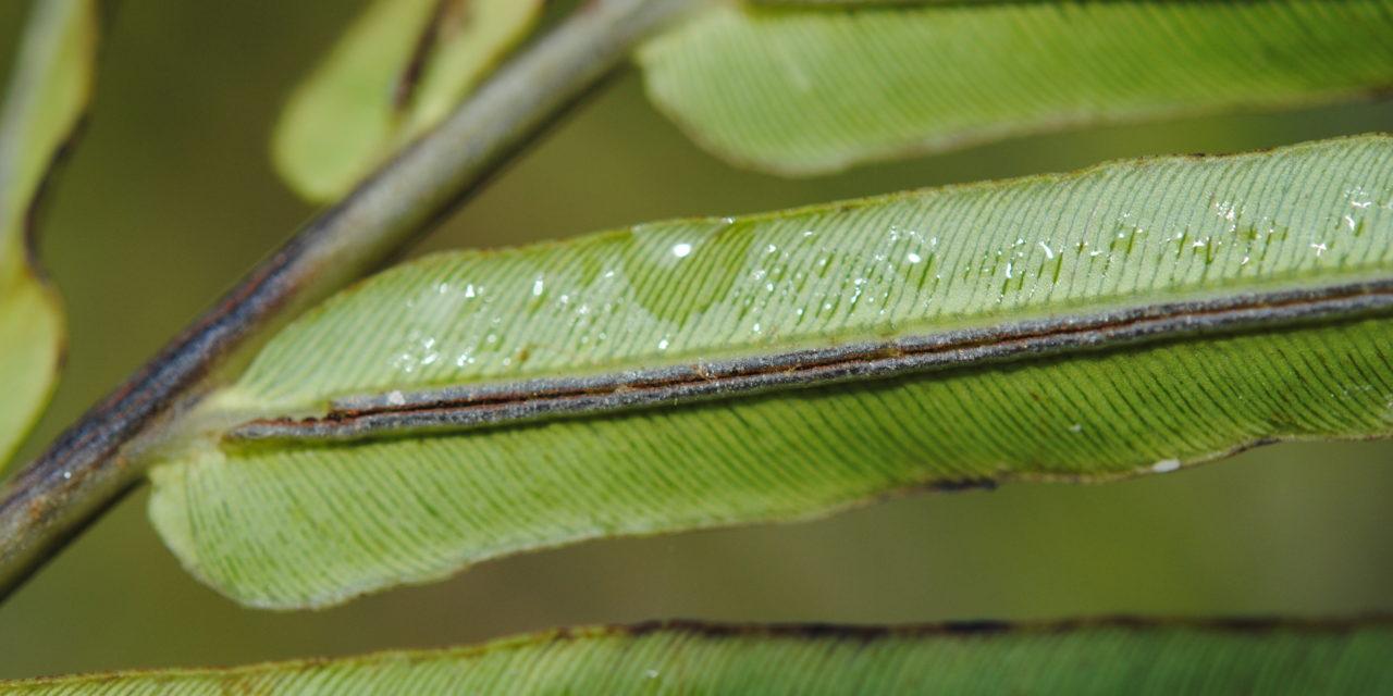 Blechnopsis orientalis