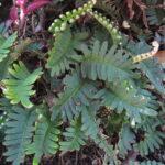 Pleopeltis minima