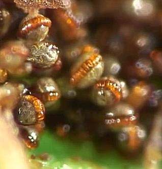 Ferns Spore video by Martin Microscope