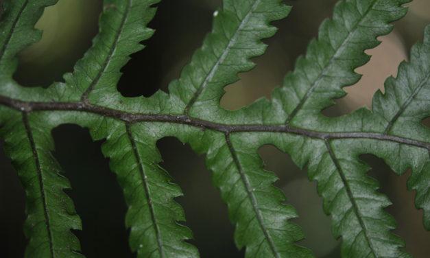 Diploblechnum neglectum