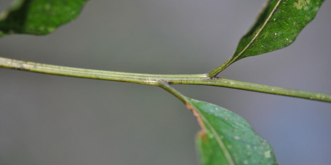 Coveniella poecilophlebia