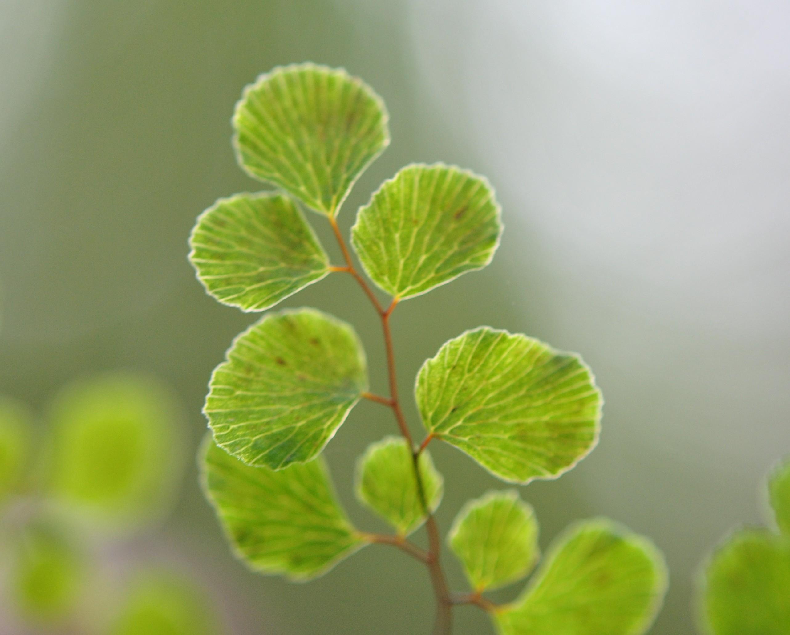 Adiantum aethiopicum