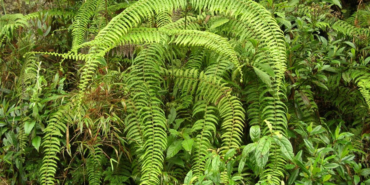 Diplopterygium bancroftii