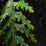 Vandenboschia rupestris