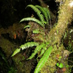 Ascogrammitis colombiensis