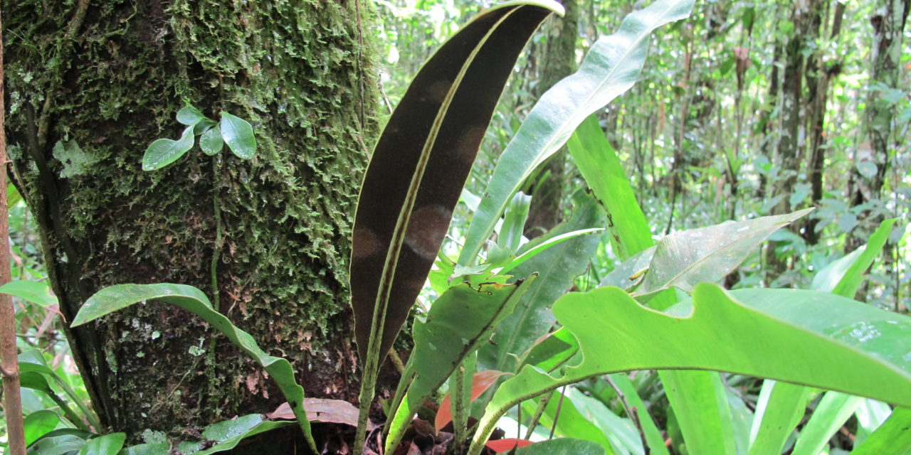 Elaphoglossum macrophyllum