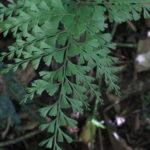 Lindsaea virescens var. catharinae (Hook.) Baker