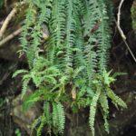 Asplenium sessilifolium Desv.