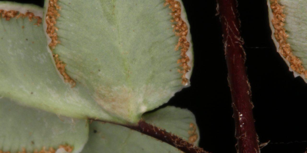Pellaea atropurpurea