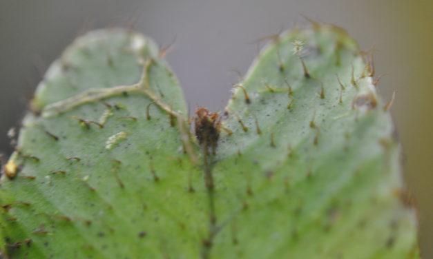Elaphoglossum gemmatum