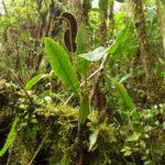Elaphoglossum lehmannianum